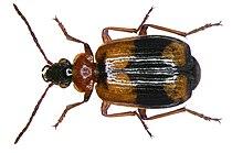Lebia cruxminor (Linné, 1758) (2871821751).jpg