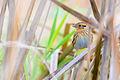 Leconte's Sparrow (Ammodramus lecontii) (22453048372).jpg