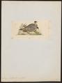 Leiopa ocellata - 1820-1860 - Print - Iconographia Zoologica - Special Collections University of Amsterdam - UBA01 IZ16900149.tif