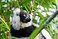 Lemur (26773413839).jpg