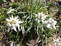 Leontopodium alpinum 0027.JPG