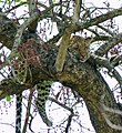 Leopard (Panthera pardus) female resting in a tree ... (51217471598).jpg