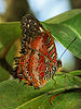 Leopard Lacewing Cethosia cyane Richard Bartz.jpg