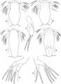 Lepeophtheirus elegans parasite130014-fig1.tif