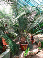 Lepidozamia peroffskyana (in a greenhouse) 01.JPG