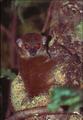 Lepilemur sahamalazensis a.PNG