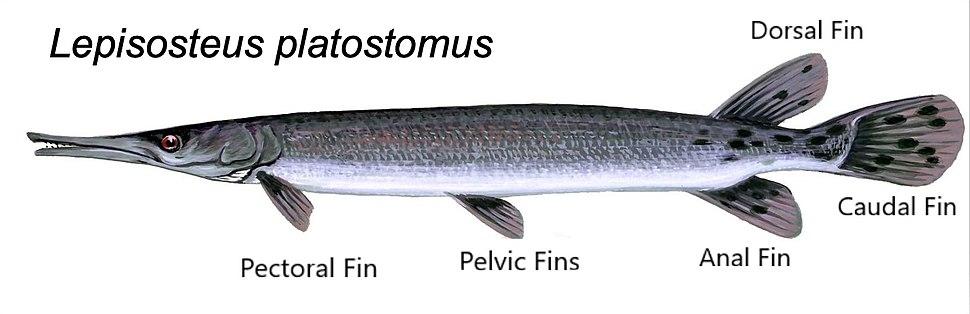 Lepisosteus platostomus - fins