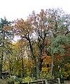 Lesno Gorne Dab Starosty.jpg