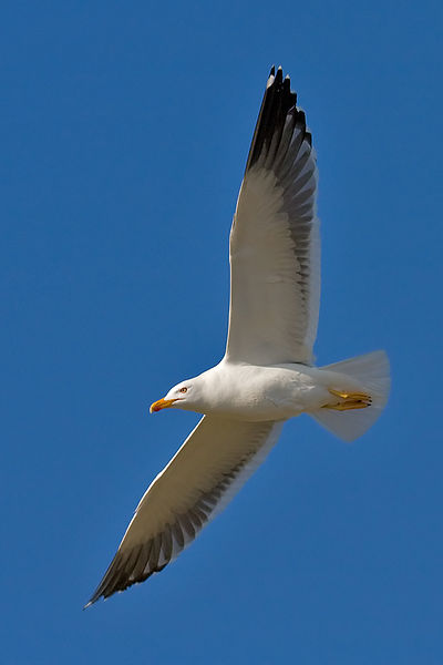 Fichier:Lesser Black-backed Gull.jpg