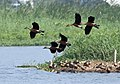 Lesser Whistling-ducks- About to land I IMG 1106.jpg
