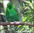 Lesser green broadbill (7150958377).jpg