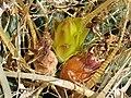 Leuchtenbergia principis 123.jpg