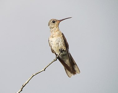 The Buffy Hummingbird (Leucippus fallax) is a species of hummingbird in the Trochilidae family. It is found in Colombia, French Guiana, and Venezuela. Its natural habitats are subtropical or tropical dry forests, subtropical or tropical mangrove forests, and subtropical or tropical dry shrubland.