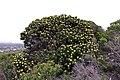 Leucospermum conocarpodendron subsp. viridum 50D 2474.jpg