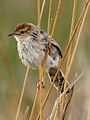 Levaillant's Cisticola, Cisticola tinniens at Rietvlei Nature Reserve, Gauteng, South Africa (15061472423).jpg