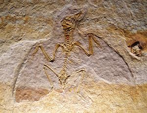 Enantiornithes - Juvenile specimen, Museo di Storia Naturale di Venezia