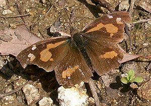 Celtis - Common beak (Libythea lepita) caterpillars feed on Celtis