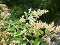 Ligustrum sinense leaves and flowers.jpg