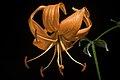 Lilium lancifolium fma. concolor 'No Spots' Thunb., Trans. Linn. Soc. London 2 333 (1794) (50136275618).jpg