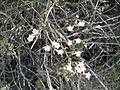 Limonium vulgare (flor).jpg