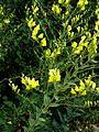 Linaria dalmatica - Flickr - peganum (1).jpg