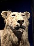 Lion d'atelier (45550521492).jpg