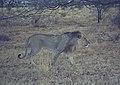 Lion male at Samburu.jpg