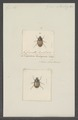 Liparetrus - Print - Iconographia Zoologica - Special Collections University of Amsterdam - UBAINV0274 020 04 0008.tif