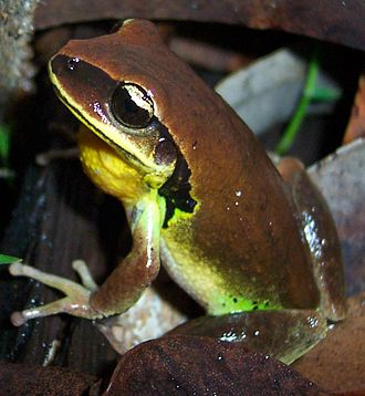 Green-thighed frog - Image: Litoria brevipalmata