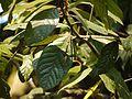 Litsea floribunda (5594986831).jpg