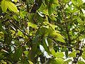 Litsea floribunda (5595001189).jpg