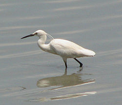 Little Egret, Taipei.jpg