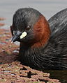 Little Grebe (or Dabchick), Tachbaptus ruficollis, at Marievale Nature Reserve, Gauteng, South Africa - breeding plumage (21410502215).jpg