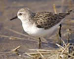 Little Stint (Calidris minuta) 2.jpg