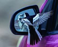 Little bird looking in the mirror.jpg