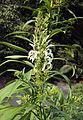 Lobelia nicotianifolia 02.jpg