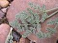 Lomatium foeniculaceum leaf two-03-25-05.jpg