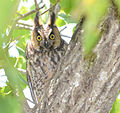 Long Eared Owl (5893935687).jpg