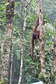 Long arms in the jungle (26662426466).jpg