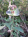 Lonicera caprifolium sl6.jpg