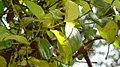 Loranthus parasitic plant.jpg