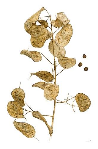 Silique - Image: Lunaria annua MHNT.BOT.2004.0.779