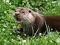 Lutra lutra 1 - Otter, Owl, and Wildlife Park.jpg