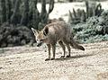 Lycalopex griseus (8392261071).jpg