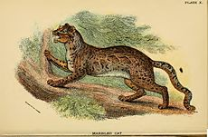 Lydekker - Marbled Cat.JPG