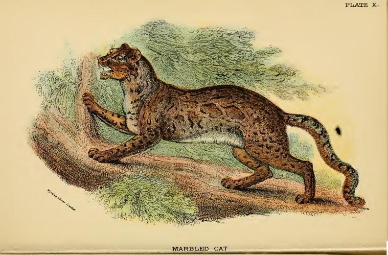 Lydekker - Marbled Cat