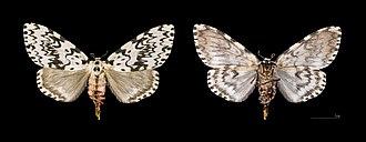 Black arches - Image: Lymantria monacha MHNT.CUT.2012.0.357 col de Crocheto Corse du Sud Female
