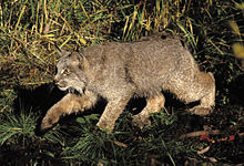 A Canada lynx stalking prey in vegetation cover