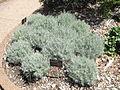 MCBG Helichrysum italicum.JPG