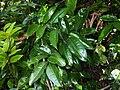 Mackinlaya macrosciadea leafs.jpg